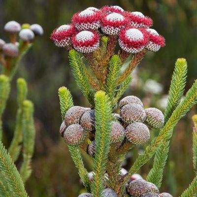 Brunia (Bruniaceae)
