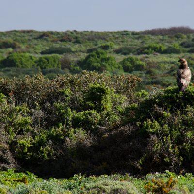Buteo rufofuscus (Jackal buzzard)