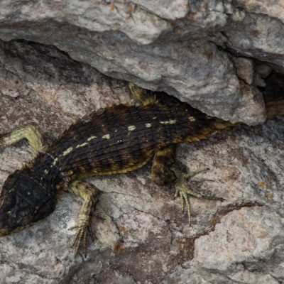 Cape girdle lizard