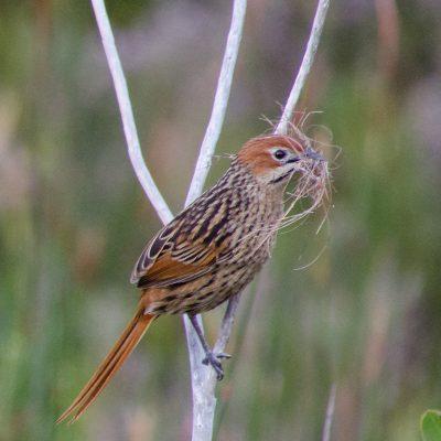 Sphenoeacus afer-Cape Grassbird