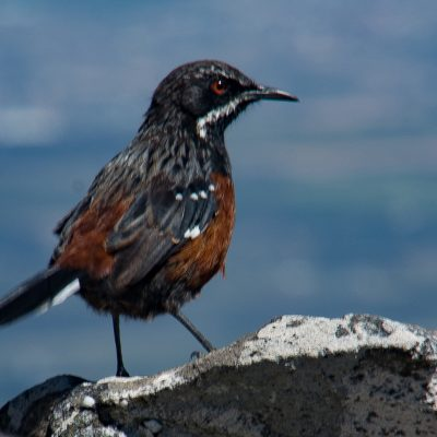 Chaetops frenatus - Cape rockjumper