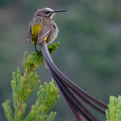 Promerops cafer-Cape sugarbird