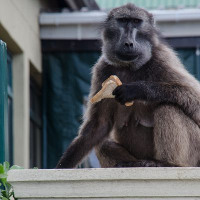 Papio ursinus-chacma baboon