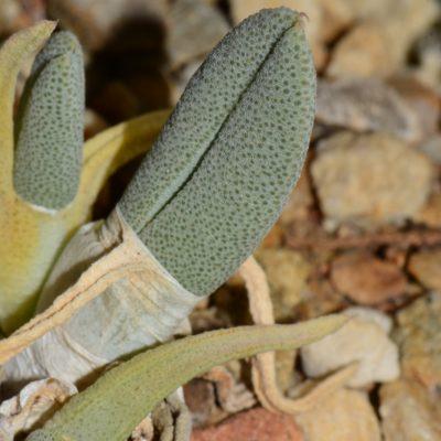 Cheiridopsis delphinoides