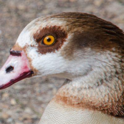 Egyptian goose - Alopochen aegyptiaca