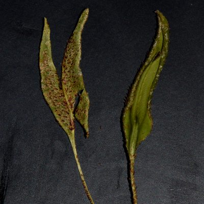 Elaphoglossum randii
