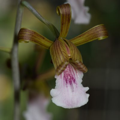 Eulophia leachii