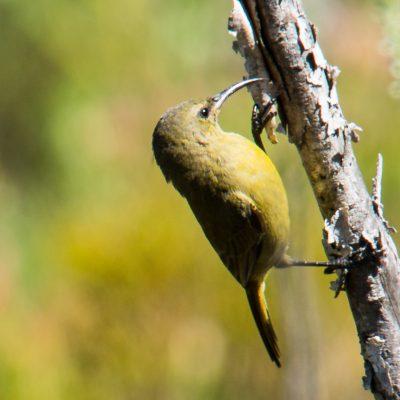 female orange breasted sunbird