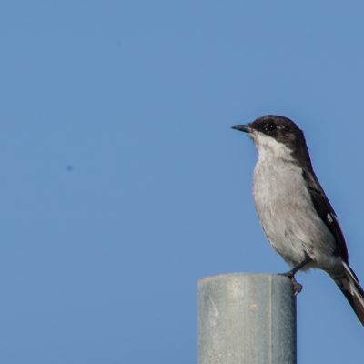 Fiscal flycatcher