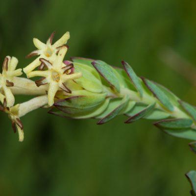 Gnidia (Thymelaceae)