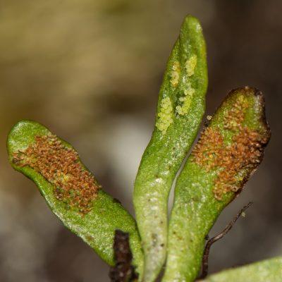 Grammitis Kerguelensis