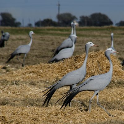Grus paradisea - blue crane