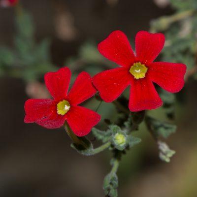 Jamesbrittenia bergae
