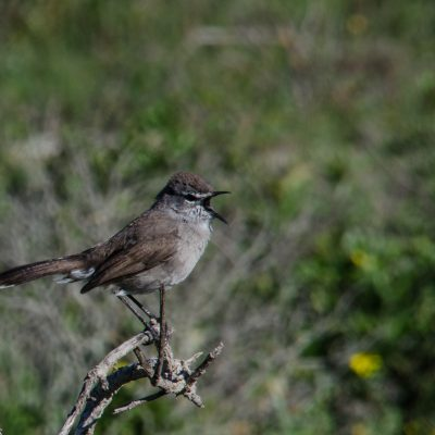 Karoo scrub robin (Cercotrichas coryphaeus)