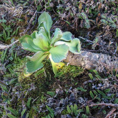 Grammitris kerguelensis