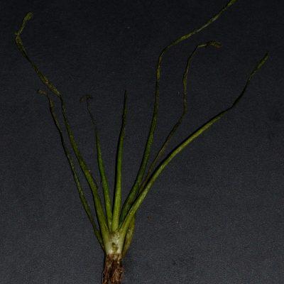 Limosella australis