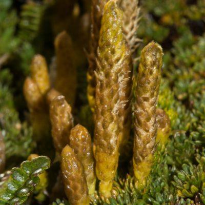 Lvcopodium magellanicum