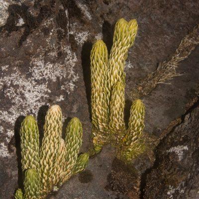 Lycopodium saururus