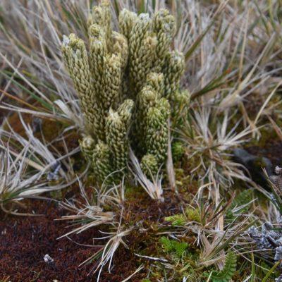 Lycopodium saururus vs. Lycopodium magellanicum