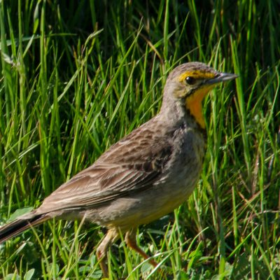 Macronyx capensis - Cape longclaw