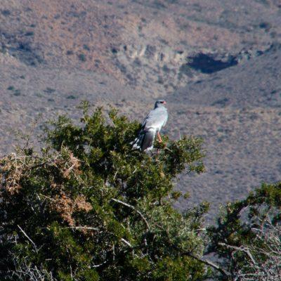 Melierax canorus - Pale chanting goshawk