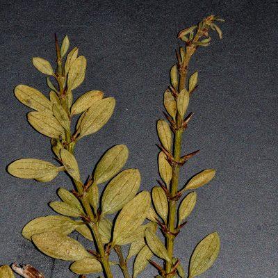 Ochethopylla trinervis