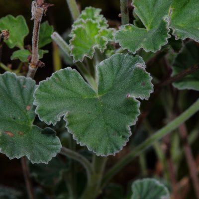 Pelargonium renofirme sbsp reniforme