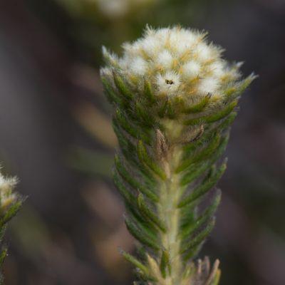 Phylica (Rhamnaceae)