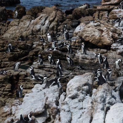 Pingüenera en Betty´s Bay