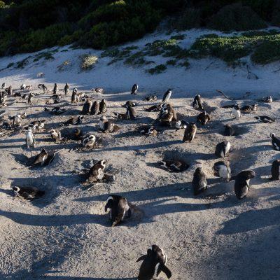 pingüino de El Cabo (Spheniscus demersus)