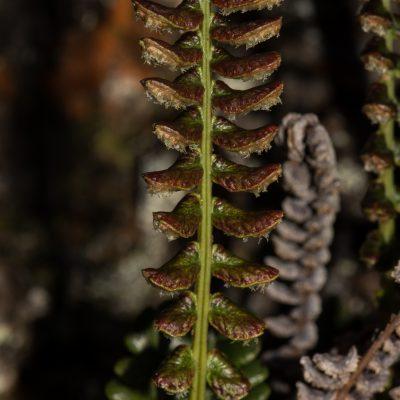 Austroblechnum penna-marina