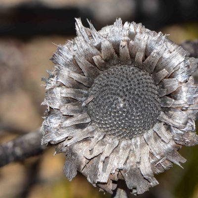 Protea burnt