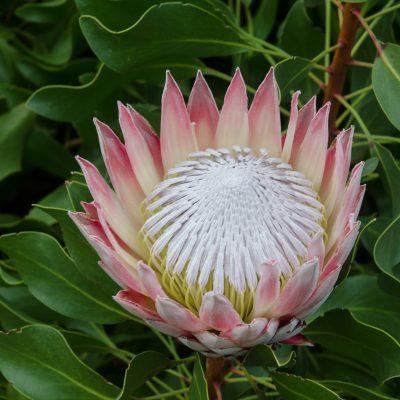 Protea cynaroides - Protea King