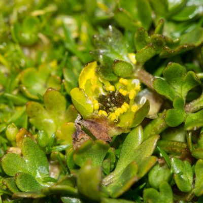 Ranunculus biternatus (flower)