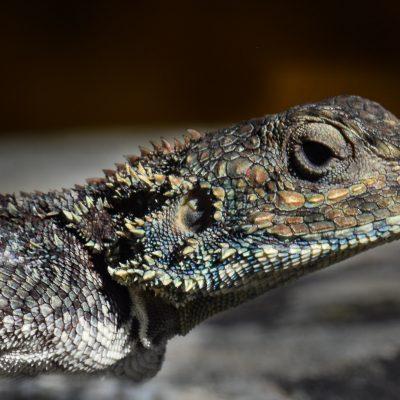 agama rock lizard