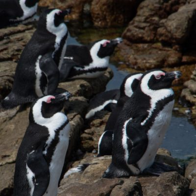 Spheniscus demersis - African penguin