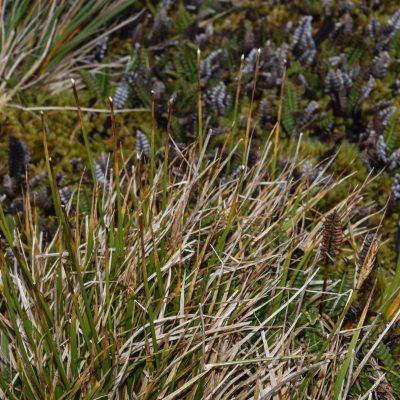 Carex dikei eaten by mice