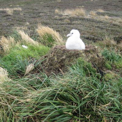 around albatros nest