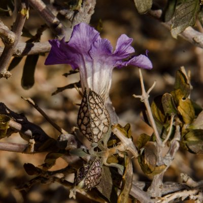 Acanthaceae
