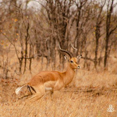 Aepyceros melampus melampus - common impala