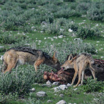Canis mesomelas