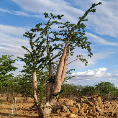 Pachypodium lealii