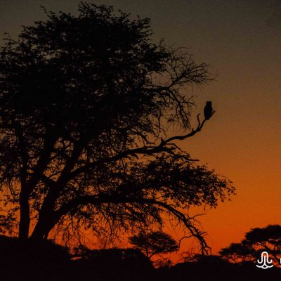 Bubo africanus