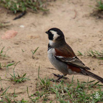 Passer melanurus (Cape sparrow)