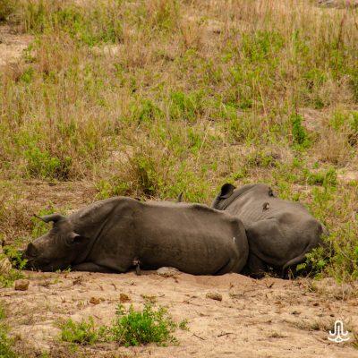 Ceratotherium simum - white rhino