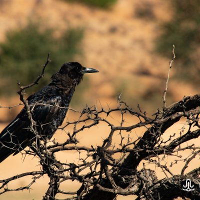 Corvus capensis