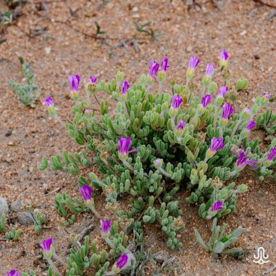 Drosanthemum sp.
