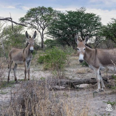 Donkeys in Kalahari