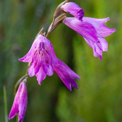 Gladiolus sp.