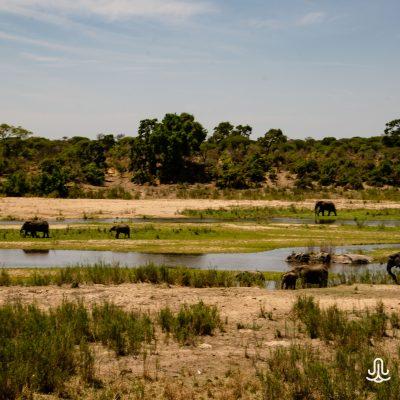 Loxodonta africana in Kruger